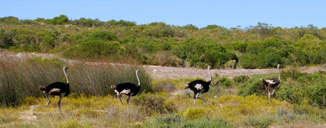 west-coast-warm-water-weekend-ostriches