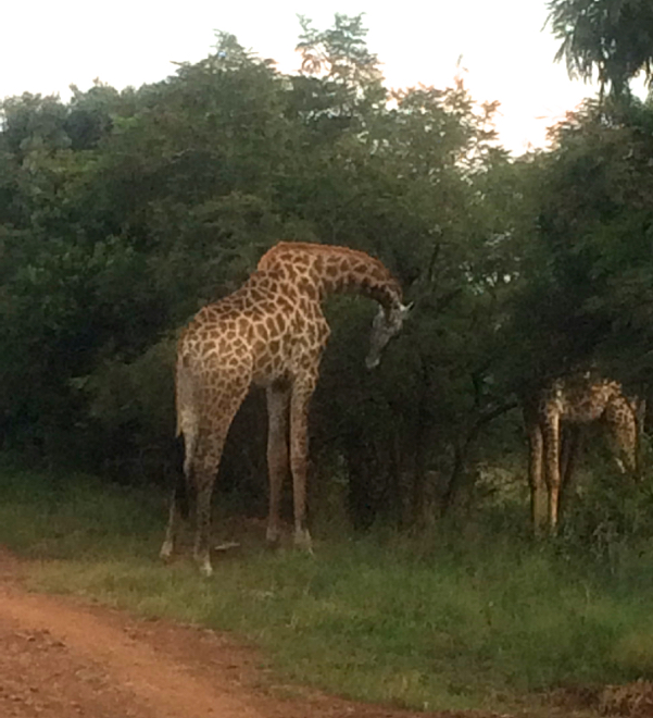 Conrad Stoltz Caveman Skills Clinic giraffe